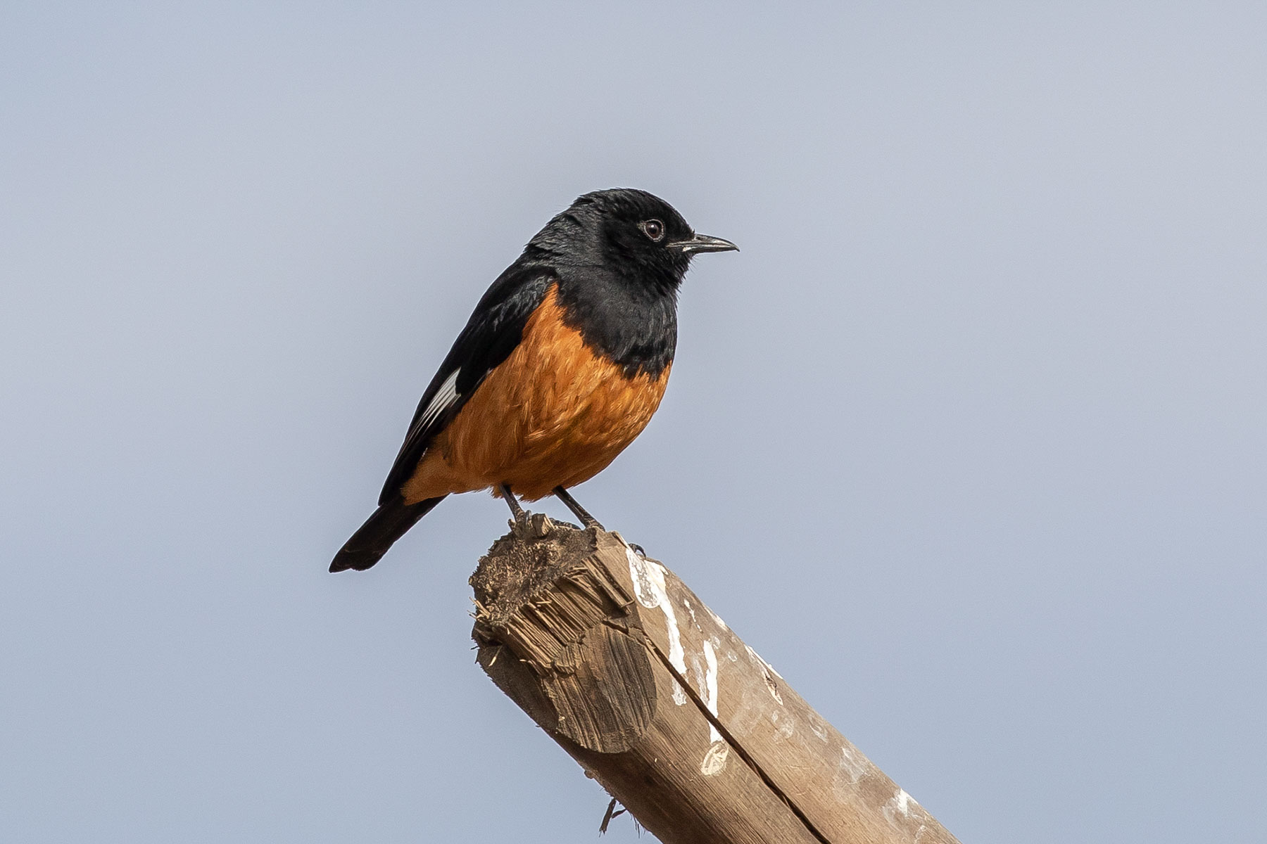 White-winged_Cliff-Chat.jpg