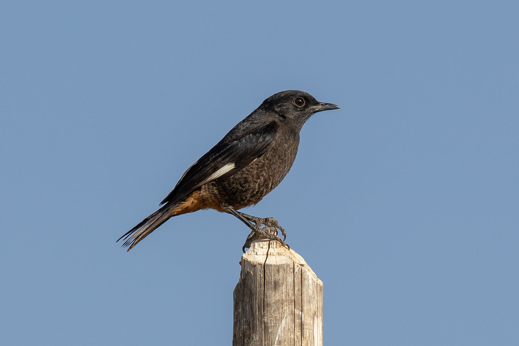 White-winged_Cliff-Chat_f.jpg