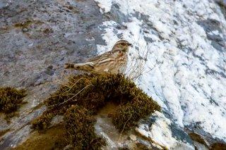 Altai Accentor - Prunella himalayana