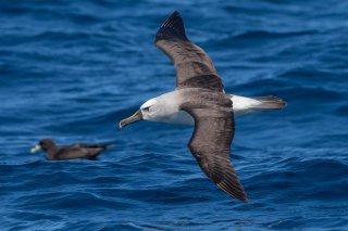Atlantic Yellow-nosed Albatross - Thalassarche chlororhynchos