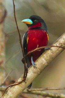 Black-and-red Broadbill - Cymbirhynchus macrorhynchos
