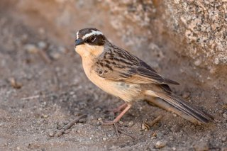 Brown Accentor - Prunella fulvescens