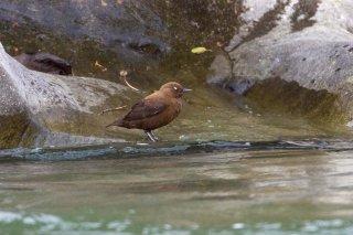 Brown Dipper - Cinclus pallasii