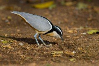 Egyptian Plover - Pluvianus aegyptius