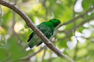 Green Broadbill - Calyptomena viridis