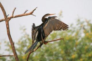 Oriental Darter - Anhinga melanogaster