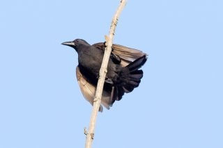 Paradise Crow - Lycocorax pyrrhopterus