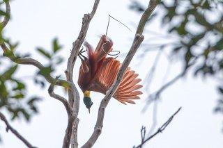 Red Bird of Paradise - Paradisaea rubra