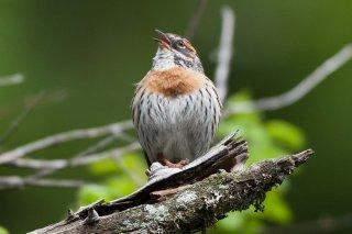 Rufous-breasted Accentor - Prunella strophiata