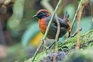 Rufous-breasted Antthrush - Formicarius rufipectus