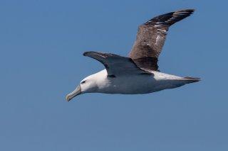Shy Albatross - Thalassarche cauta