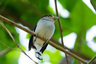 Silver-breasted Broadbill - Serilophus lunatus