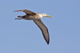 Waved Albatross - Phoebastria irrorata