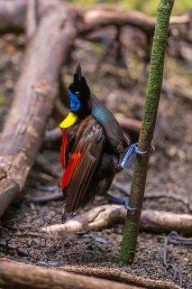Wilson's Bird of Paradise - Diphyllodes respublica