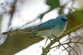 African Blue-flycatcher - Elminia longicauda