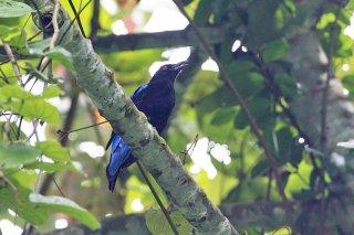 Asian Fairy-bluebird - Irena puella