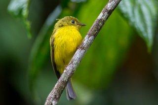 Citrine Canary-flycatcher - Culicicapa helianthea