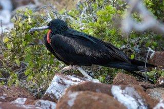 Great Frigatebird - Fregata minor