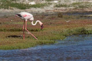 Lesser Flamingo - Phoeniconaias minor