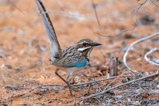 Long-tailed Ground Roller - Uratelornis chimaera