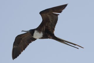 Magnificent Frigatebird (f) - Fregata magnificens