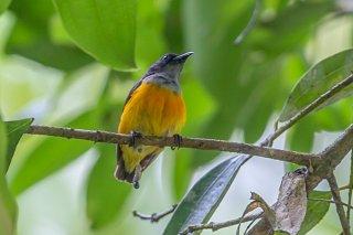 Orange-bellied Flowerpecker - Dicaeum trigonostigma