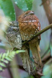 Sri Lanka Frogmouth - Batrachostomus moniliger