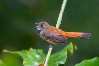 Sulawesi Fantail - Rhipidura teysmanni