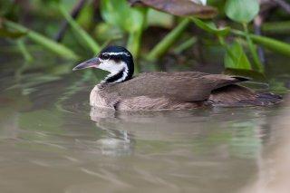 Sungrebe - Heliornis fulica