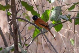 African Paradise-Flycatcher (f) - Terpsiphone viridis