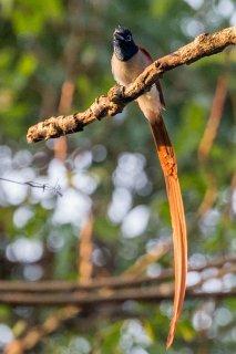 Asian Paradise Flycatcher - Terpsiphone paradisi
