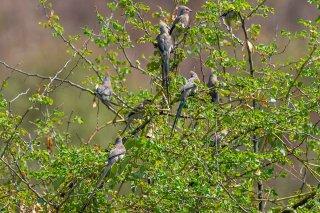 Blue-naped Mousebird - Urocolius macrourus