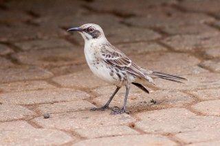 Chatham Mockingbird - Mimus melanotis