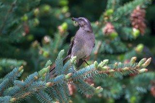 Chilean Mockingbird - Mimus thenca