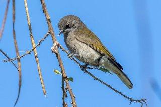 Green-backed Honeyguide - Prodotiscus zambesiae