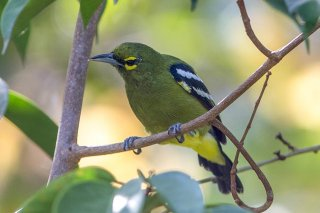 Green Iora - Aegithina viridissima
