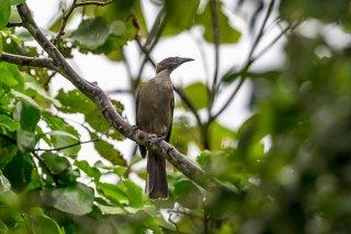 Helmeted Friarbird - Philemon buceroides