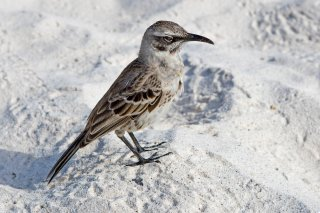 Hood Mockingbird - Mimus macdonaldi