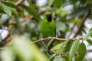 Lesser Green Leafbird - Chloropsis cyanopogon