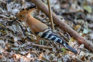 Madagascar Hoopoe - Upupa marginata