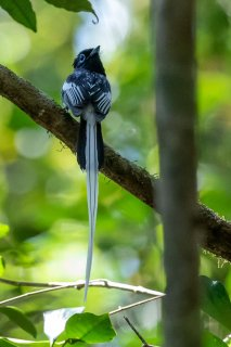 Madagascar Paradise Flycatcher (White Morph) - Terpsiphone mutata