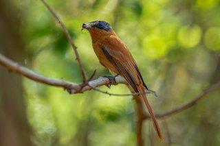 Madagascar Paradise Flycatcher (f) - Terpsiphone mutata