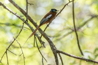 Madagascar Paradise Flycatcher (rufous morph) - Terpsiphone mutata