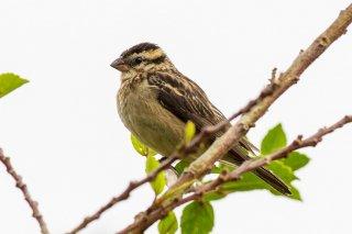 Pin-tailed Whydah (f) - Vidua macroura