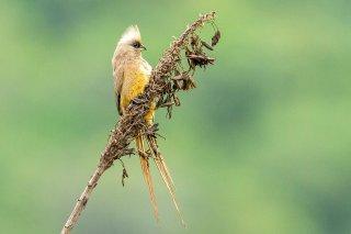 Speckled Mousebird - Colius striatus