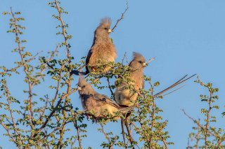 White-backed Mousebird - Colius colius