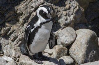 African Penguin - Spheniscus demersus