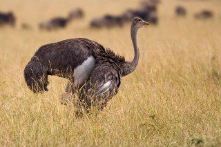 Common Ostrich (f) - Struthio camelus