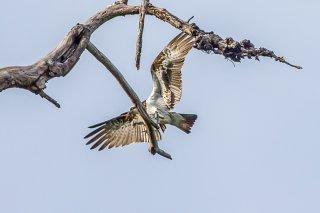 Eastern Osprey - Pandion cristatus