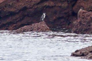 Galapagos Penguin - -Spheniscus mendiculus